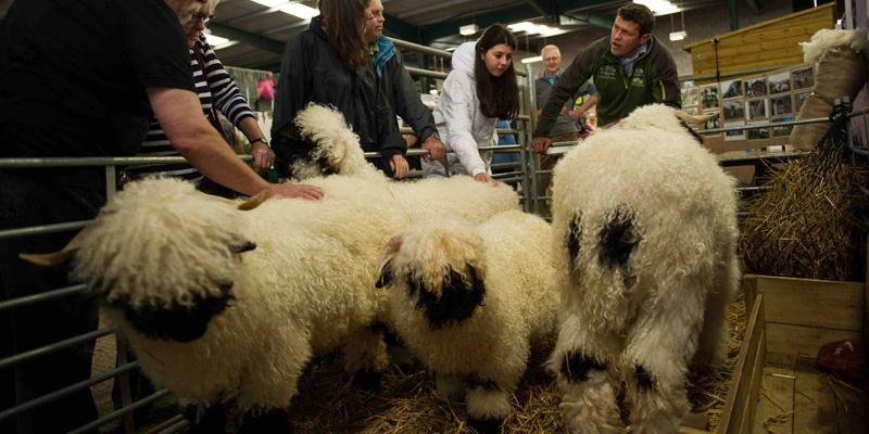 woolfest: Valais sheep