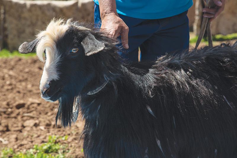This handsome Jaidari goat produces June Cashmere fiber.