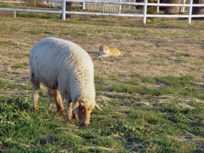 American Tunis ewe with cream-colored fleece. Photograph courtesy of the National Tunis Sheep Registry and by Debbi Brown.