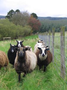 1024px-Flock_of_shetland_sheep