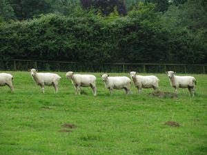 1024px-Shaggy_sheep_2008-07-14_13-14