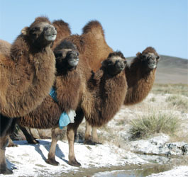 Meet some Bactrian camels!
