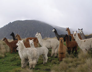 Alpacas - Vicugna pacos - Wikimedia Commons; Want to know the difference between a llama, an alpaca, and a paco-vicuña? Chris Switzer explains it all. Photo by Wikimedia user Philippe Lavoie.