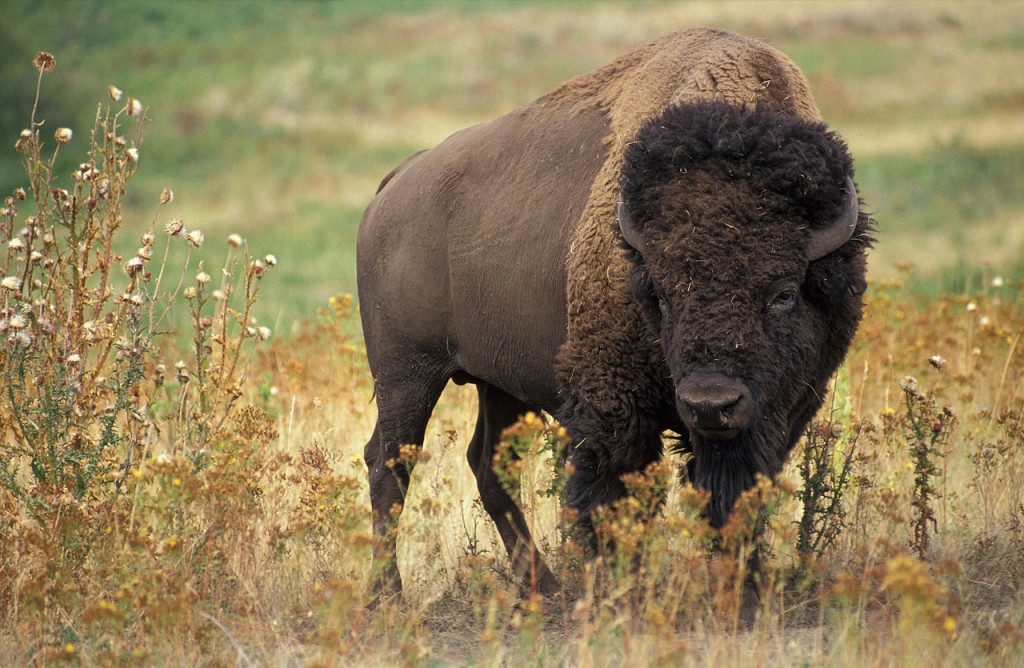 american-bison