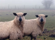 Sheep and other animal fibers are sclay.