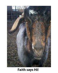 Faith the goat