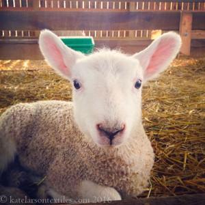 A new member of Kate Larson's flock; photo courtesy of Kate Larson