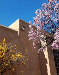 Out and about in Santa Fe. Forsythia and Cherry Blossoms