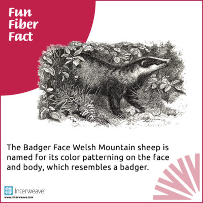 The Badger Face Welsh Mountain sheep is named for its color patterning on the face and body, which resembles a badger.