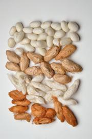 Wild Silk Cocoons