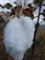 ELS Cotton Boll