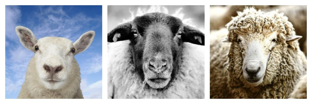 Faces of Wool: Merino Sheep