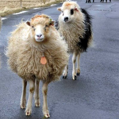 Faroese sheep take to the road. Photograph by Kathy Troup.