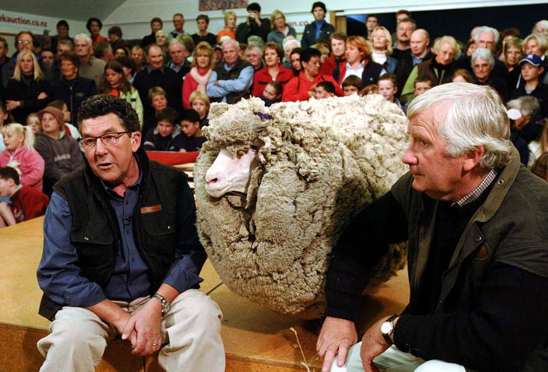 Shrek (C), the hermit merino sheep who has evaded shearing for six years by hiding in a cave during the annual muster, is flanked by TV presenter Paul Holmes (L) and owner John Perriam (R) in Cromwell, 28 April 2004, before being shorn on live worldwide television. Shrek's enormous 27kg fleece was removed in 20 minutes and will be auctioned for the cancer charity Cure Kids. AFP PHOTO/Steven JAQUIERY (Photo credit should read STEVEN JAQUIERY/AFP/Getty Images)