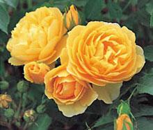 My beautiful new rose