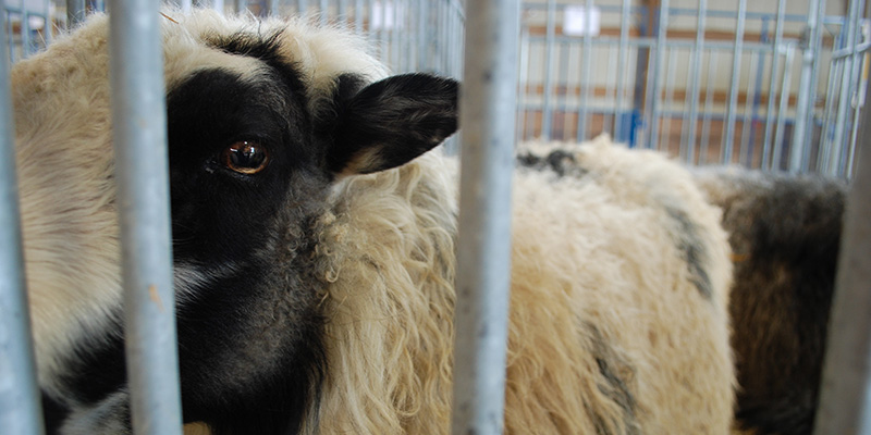 Roving Reporter: Stupid Sheep and Other Sheep Myths
