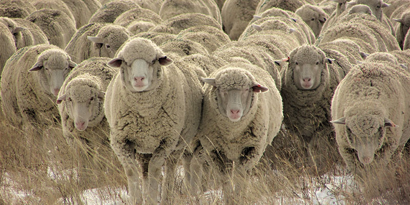 W Is For Warmth (and Wool): Brand-New and Rare Sheep Breeds
