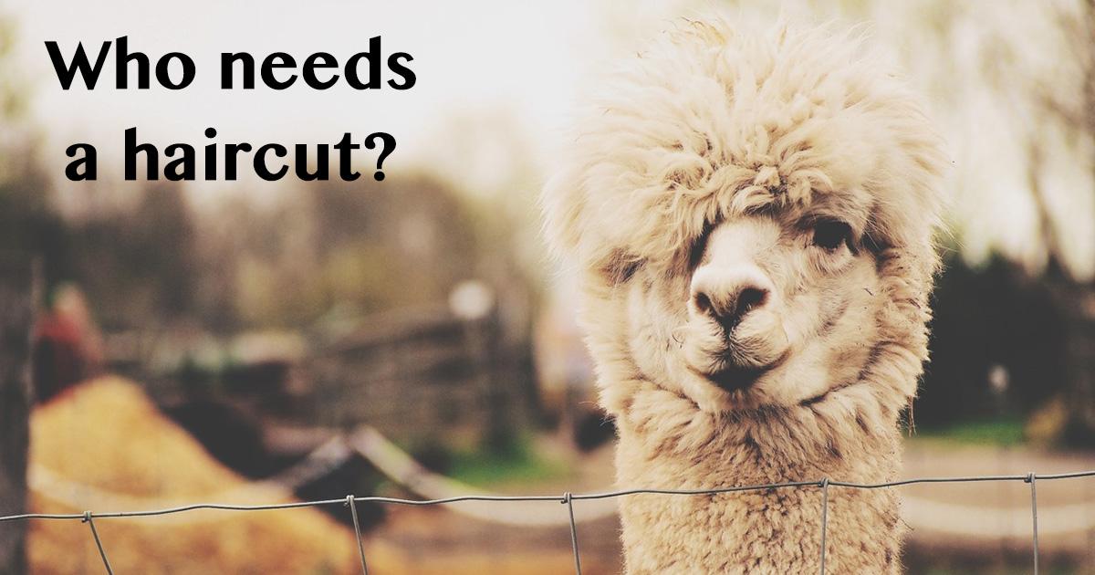Crew Cut: Alpaca Shearing