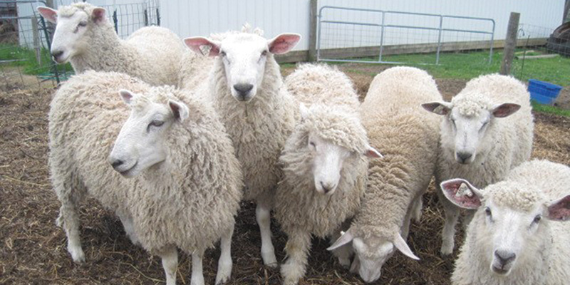How to Buy a Crossbred Sheep Fleece