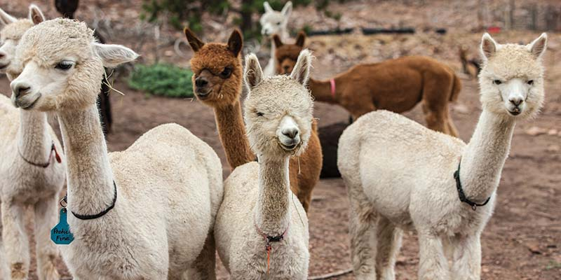 How a Passion for Alpaca Fiber Meets Practicality