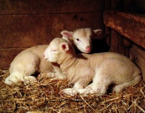 A pair of lambs at Beech Grove Fiberworks. Photo by Kate Larson