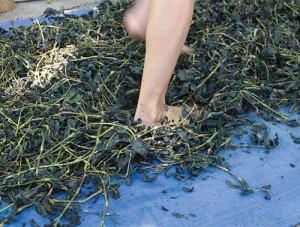 Stomping dried indigo in Indiana. Photo by Rowland Ricketts