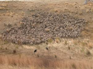Lost sheep photo; credit: Photo courtesy of Nan Bray, White Gum Wool
