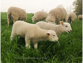 Lambs-eating-grass-crop