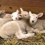 Handspun Holiday: From Our Flock to Yours