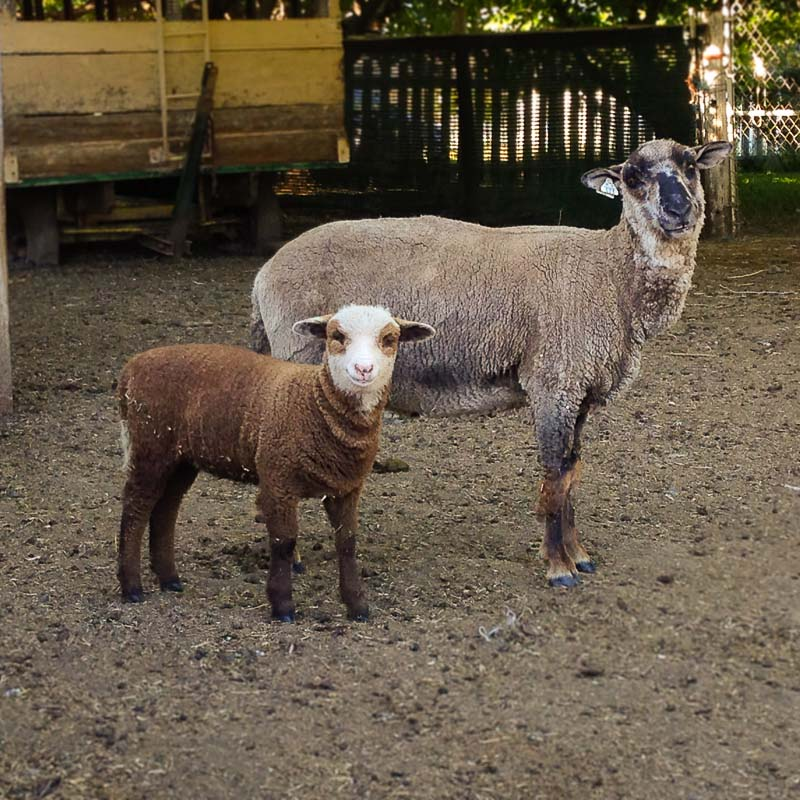 California Lambs: Viriditas Farm