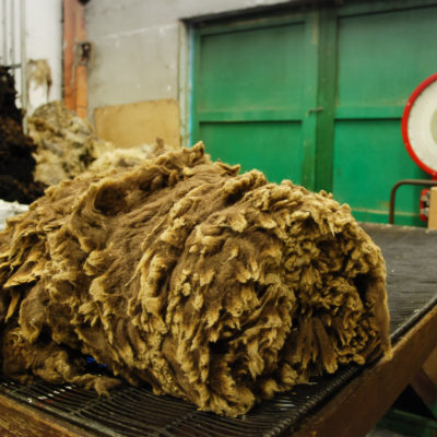 "Oliver Henry on fleece handling: ""Shetland fleece is rolled with the staple (point) out. The reason for this is that with Shetland wool, the quality of a fleece can vary."" Photo by Kate Larson."