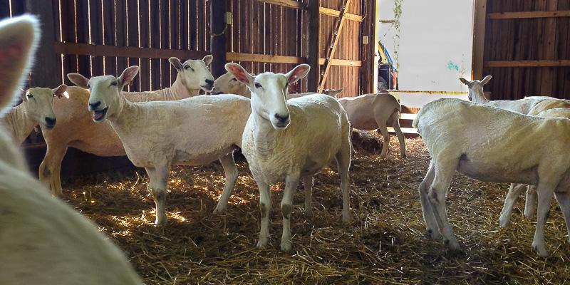 Roving Reporter: Fresh Fall Fleeces? Sheep Shearing in Autumn