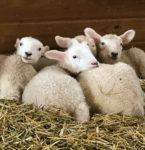 Roving Reporter: Lambing Season Arrives!