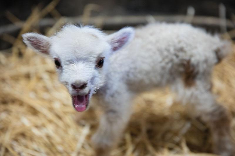 Festival on a Budget: Meet a little lamb
