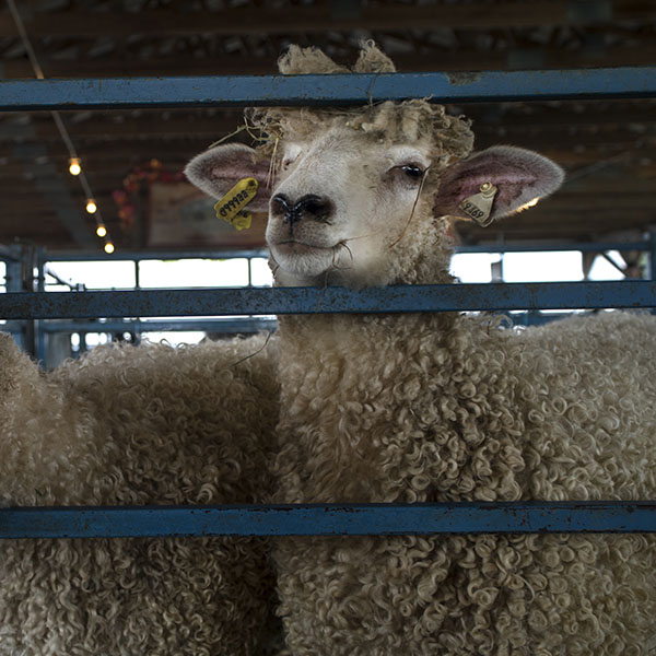 Rhinebeck sheep