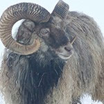 Heritage breed sheep