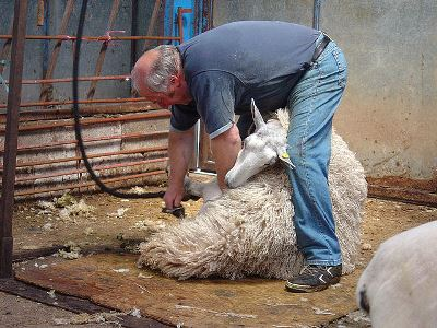 Sheep_shearing_by_Magic_Foundry