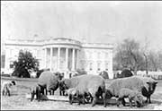 Sheep on the South Lawn