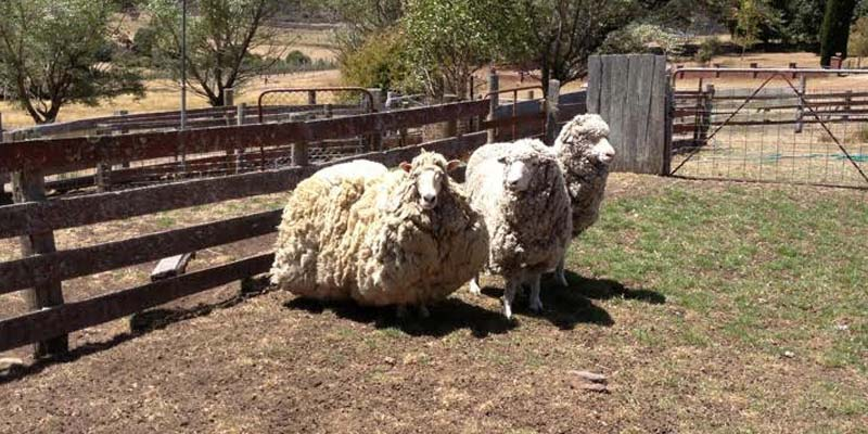 Lost and Found: More Sheep Escaped Shearing