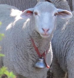 Columbia sheep's wool makes lovely handweaving yarn