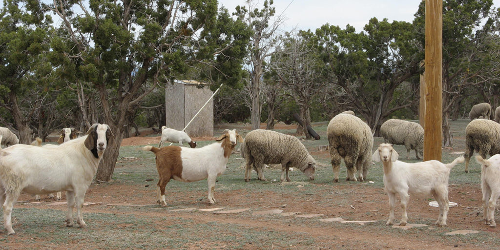 Wool on the Reservation: How the Navajo Are Bringing Their Wool to the Global Market