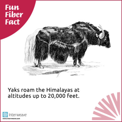 Yaks roam the Himalayas at altitudes up to 20,000 feet.