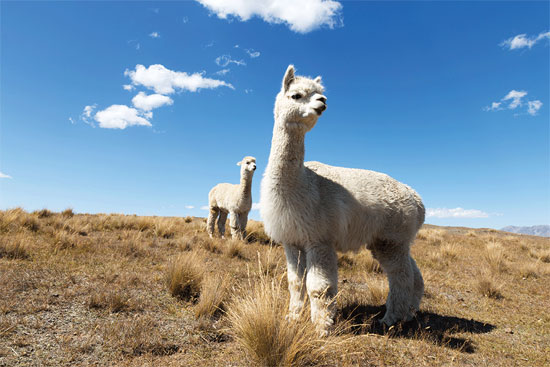 Donna M. Rudd's article on spinning alpaca yarn show you how to make the best use of any alpaca fleece. Photo ©iStock.com/zhudifeng