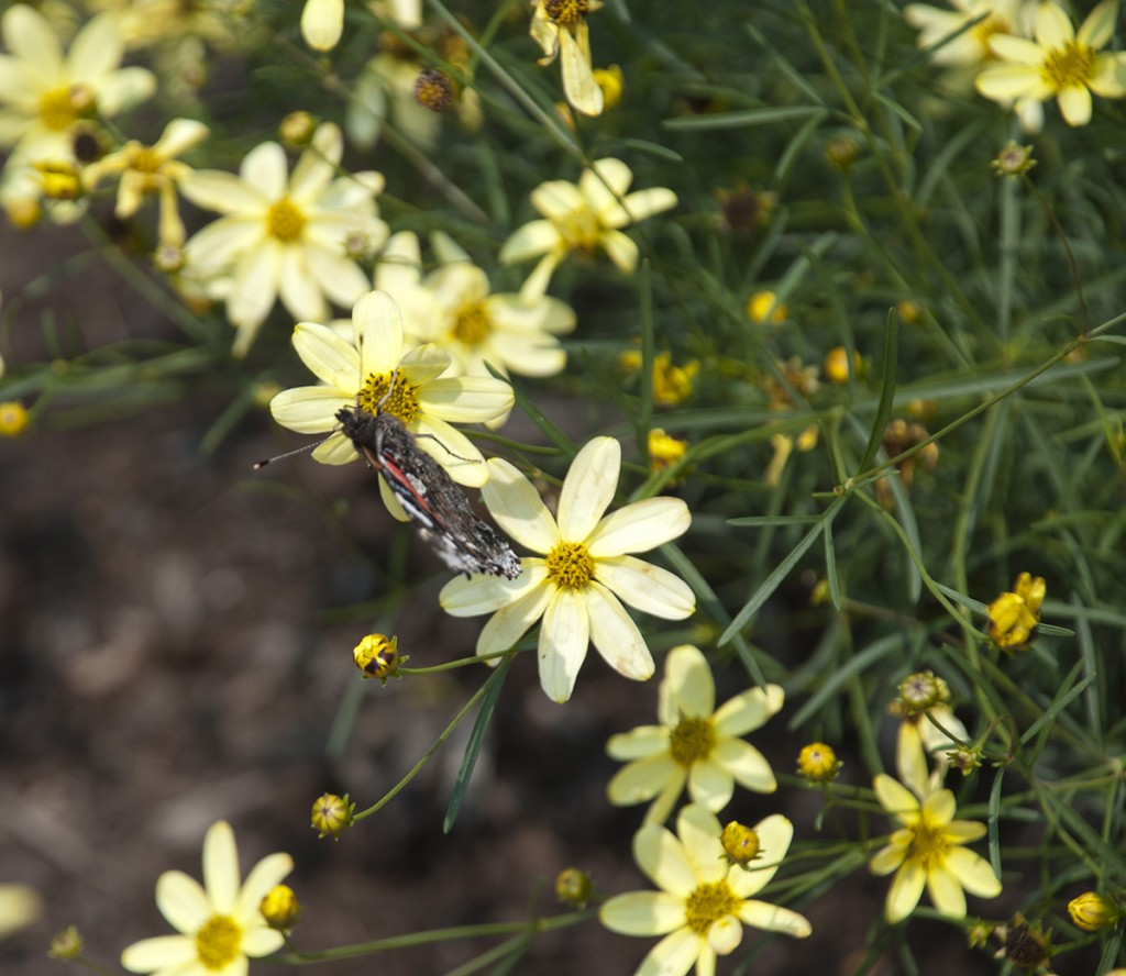 butterflies, coreopsis, and summertime inspiration