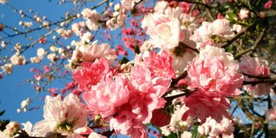 blooming cherry tree flowers by Tammy Jones