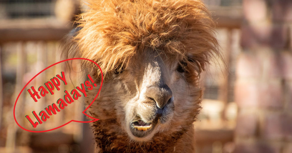 Winter New and Notable – Happy Llamadays!