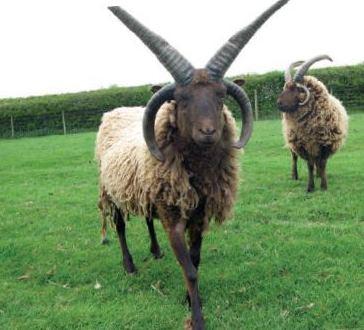 manx-loaghtan-sheep