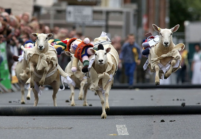 moffat-sheep-race