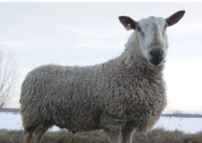 Bluefaced Leicester Crossbred Wool by Carol Densmore