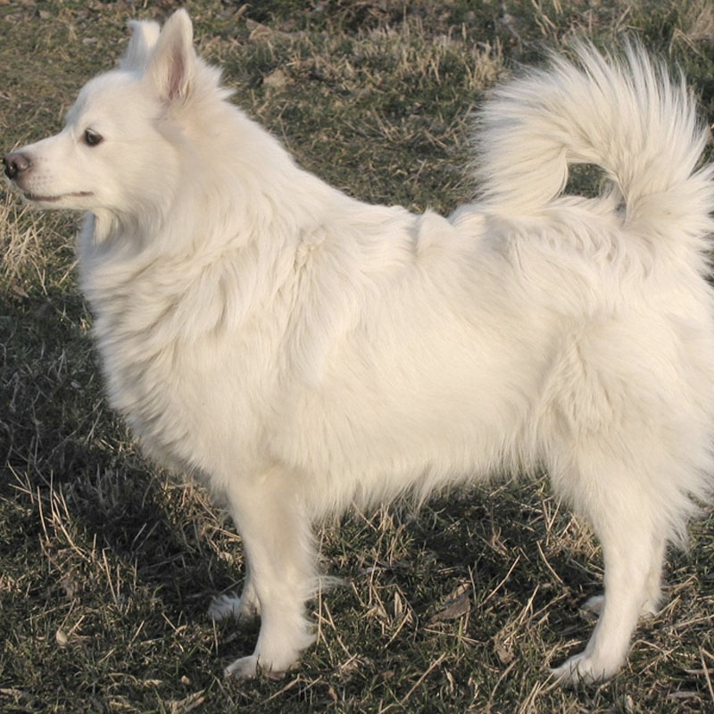 The Spitz breed resembles the Salish woolly dog.